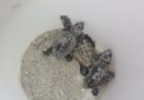 How to See a Loggerhead Sea Turtle Nest Excavation and Release