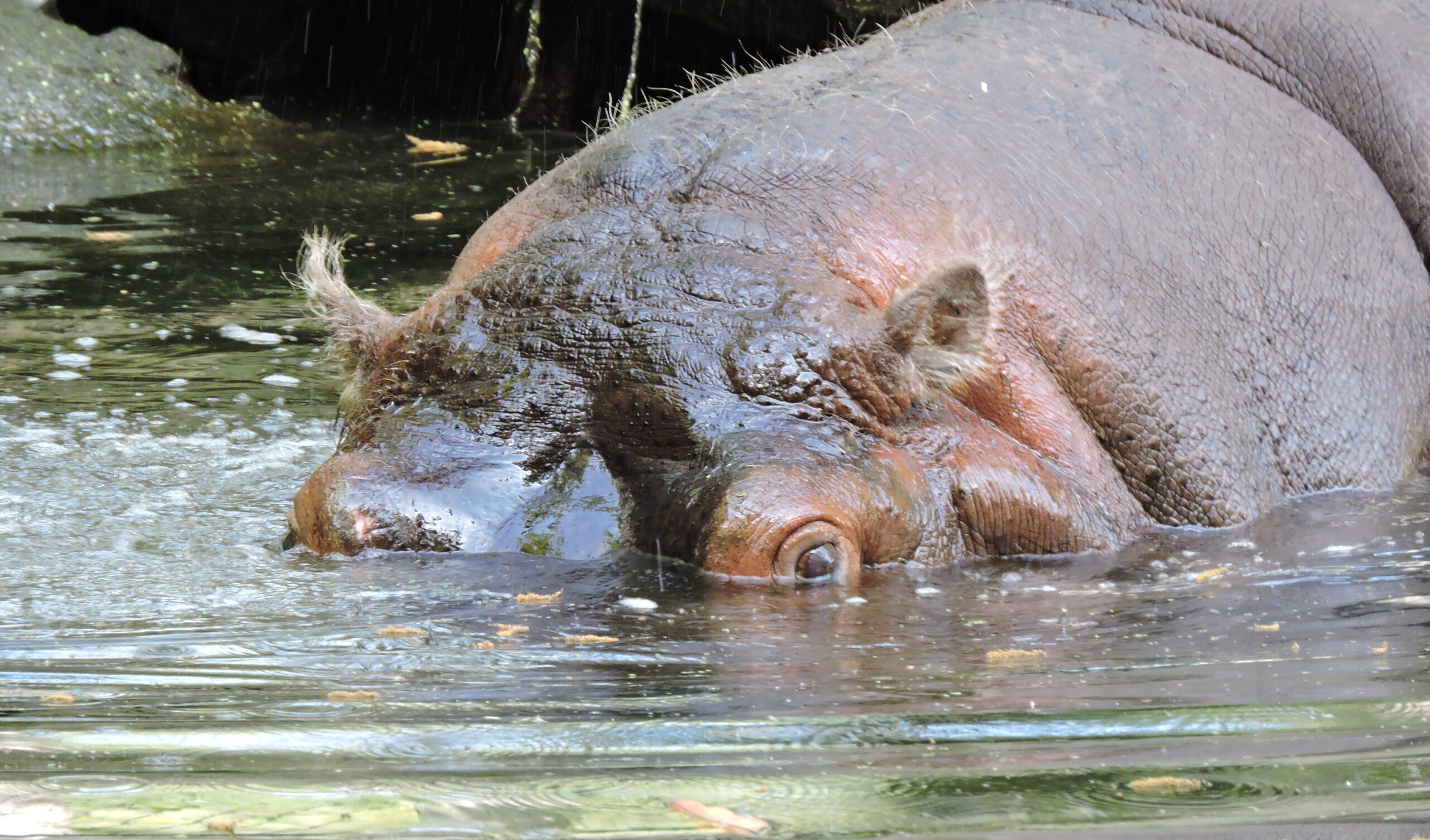 Lucifer the Hippo and Homosassa Springs Wildlife State Park